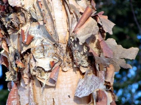 Birch Butterfly