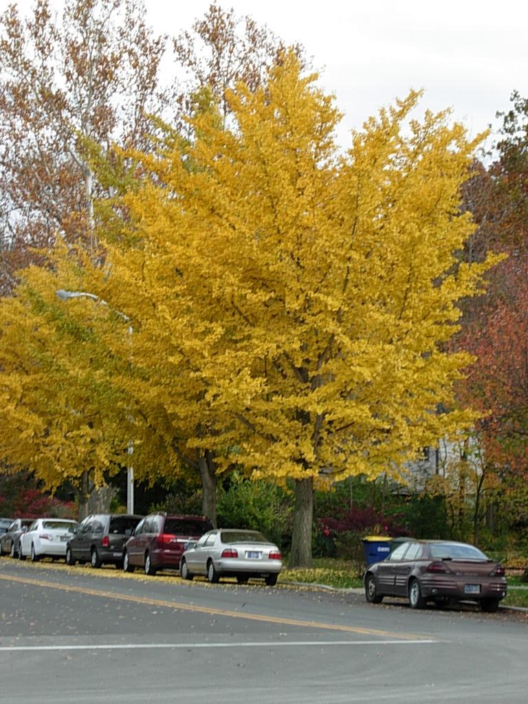 Golden Gingko Trees Friesner Herbarium Blog About
