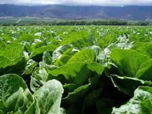 Lettuce in California Central Coast