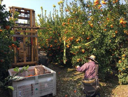 Man sampling nutrients in an orange grove