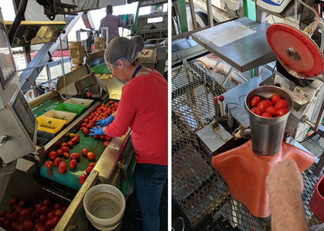 Processing tomatoes being sorted and sampled at a tomato grading station in California.