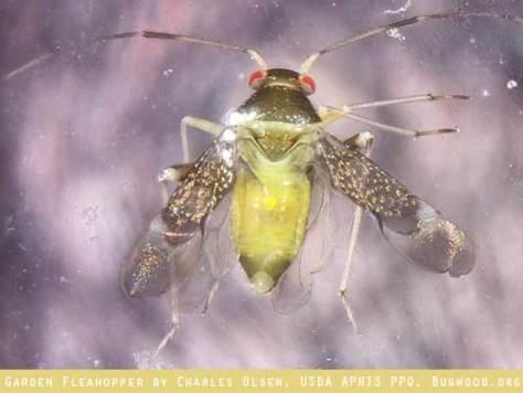 Garden Fleahopper by Charles Olsen, USDA APHIS PPQ, Bugwood.org