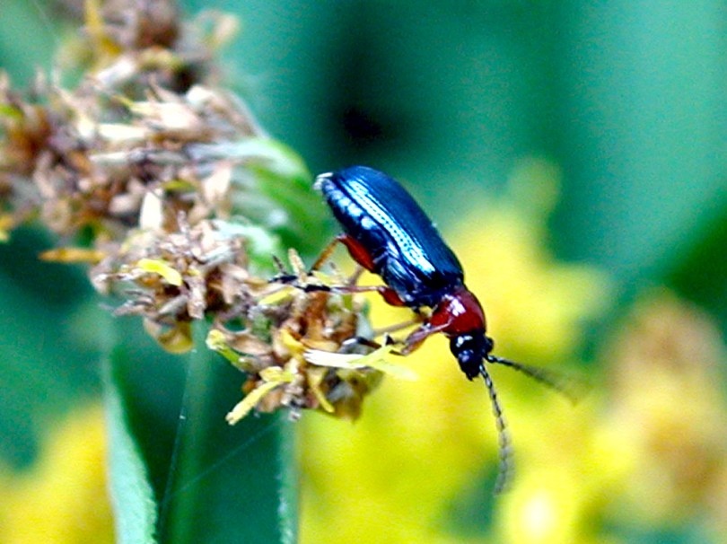 Adult Cereal Leaf Beetle