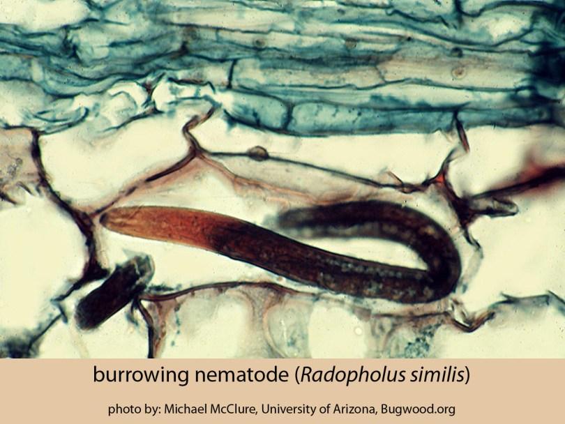 burrowing nematode