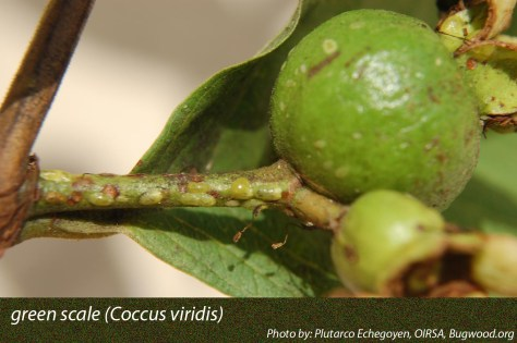 5512373-green-scale_byPlutarcoEchegoyen-OIRSA-Bugwood