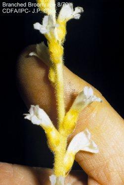 Branched broomrape