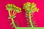 myrtle spurge | Euphorbia myrsinites L | Photographer: Steve Dewey