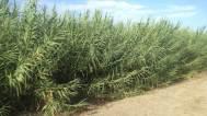 Arundo donax (Giant Reed)