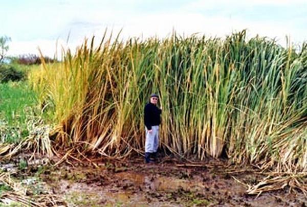 Manchurian Wild Rice
