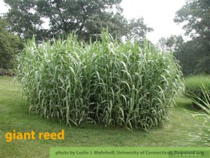 Giant Reed (Arundo donax) L.