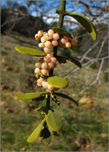 figure 2 Phoradendron serotinum