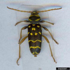 Longhorned Beetle | Plagionotus arcuatus