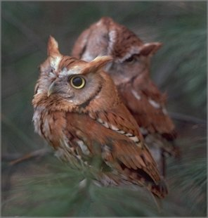 screech owls --red phase (Otus asio)