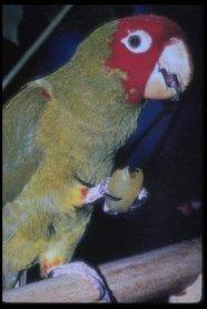 red-masked conure (Aratinga erythrogenys)