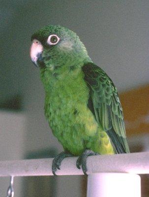 Jardine's parrot (Poicephalus gulielmi)