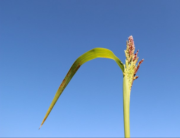 Sorghum Sudan Grass, one of the four plants used in mixtures, generally used as forage but also as cover crop.