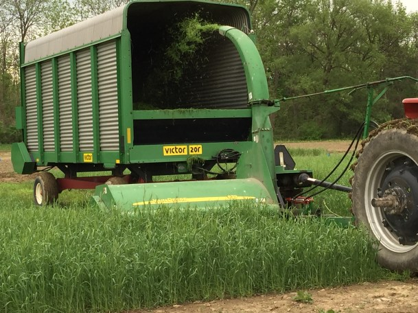Ryelage treatment: the rye cover crop is harvested for forage in the spring