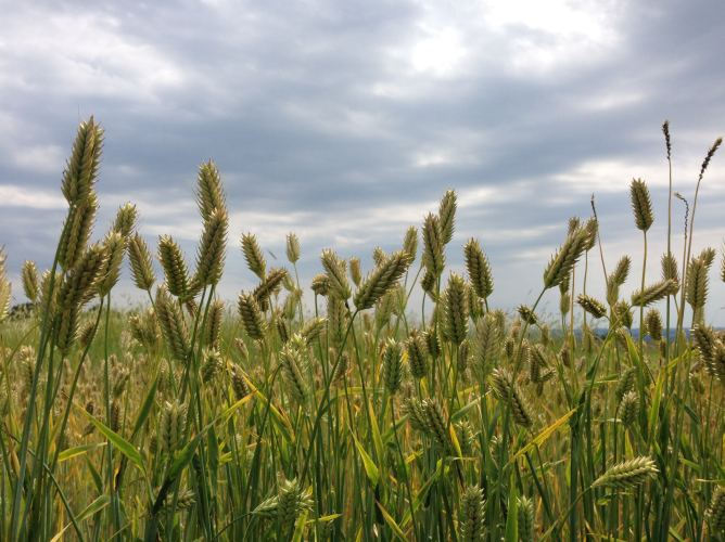 barley.smallersize-2cjmc4b