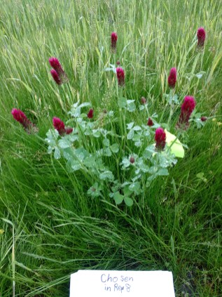 One of the clover plants selected so its seed can be harvested and replanted