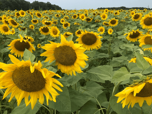 Including sunflowers in a crop rotation can improve farm diversity and offer unique products for the local market.