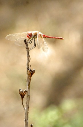 dragonfly-ashley.tuffin