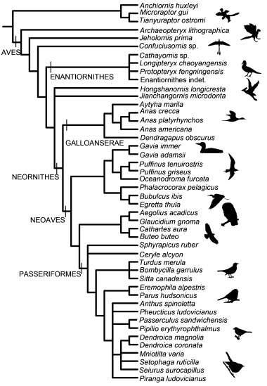 Phylogeny of the species analysed in the study (source)