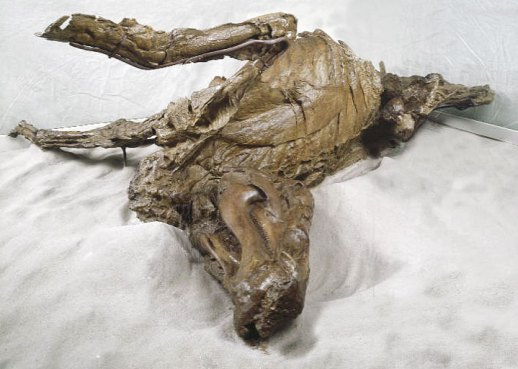 One of the infamous dinosaur mummies, a hadrosaur entombed in the flesh for 70 million years. (source)