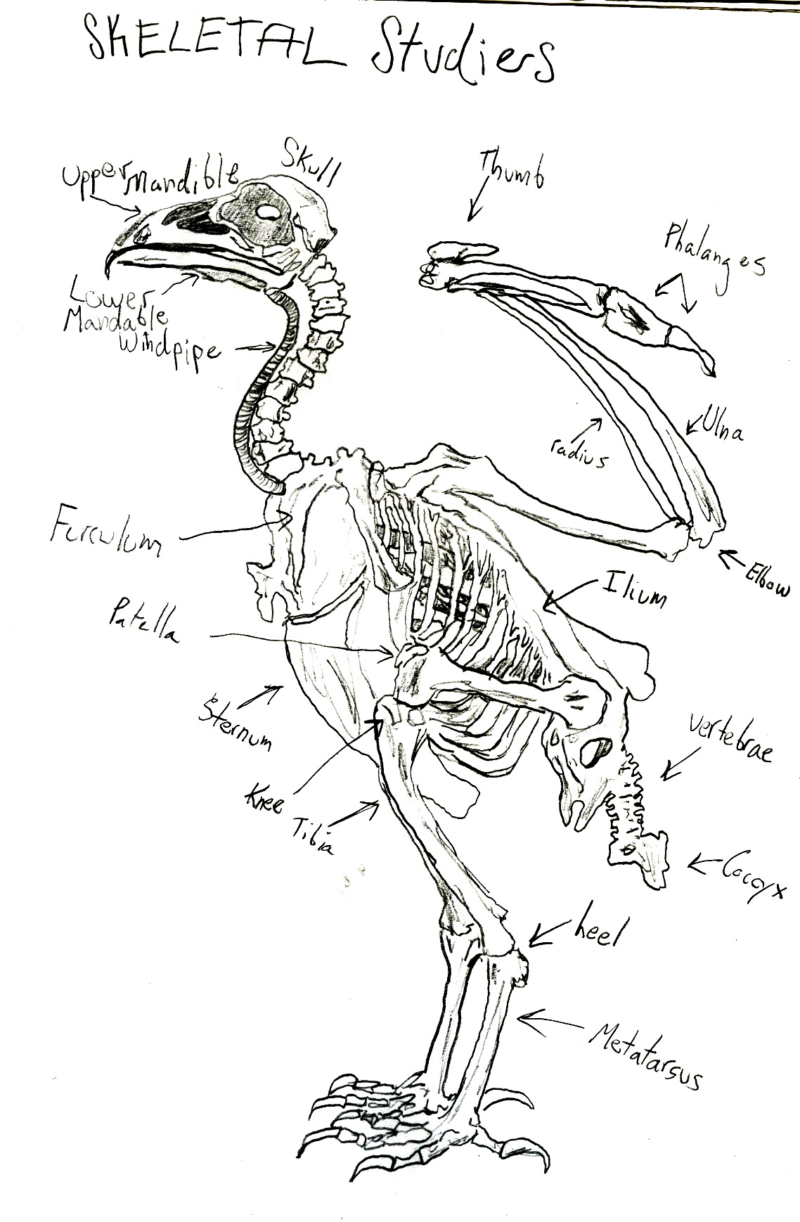 duck skeleton diagram 2 phase electric motor wiring labeled of a bald eagle cow