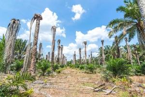 Grande empresa que comercializa óleo de palma se compromete com florestas