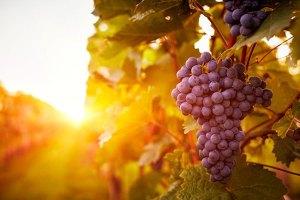 Célula renal pode aumentar energia graças a compostos da uva