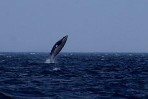 funiber-caza-ballenas-japon
