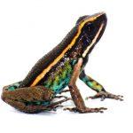 Descubren nueva especie de rana en la Amazonía