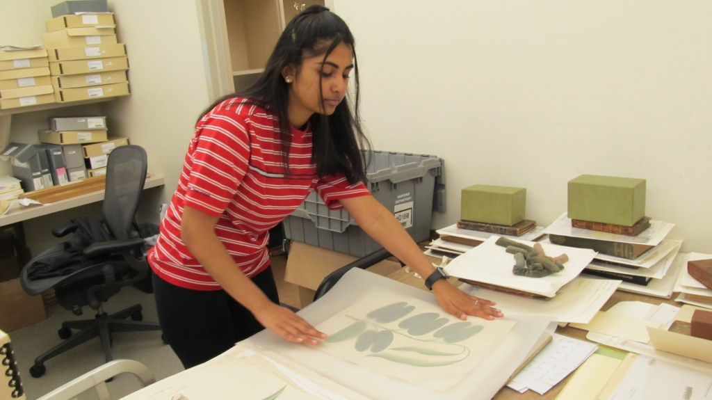 A student places acid-free interleaving between leaves in a portfolio of drawings of plant specimens.