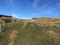 It was incredible to walk through so many sheep pastures!