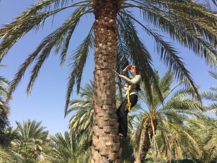 Climbing a date palm