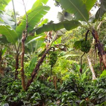Don Roberto's banana plants cut the intensity of tropical sunlight and create a pleasantly humid growing environment for his coffee.