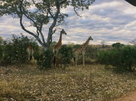 Giraffes munching on some leaves