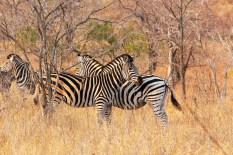 Zebras standing to protect each other