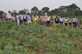 Image result for Nigeria to develop Hybrid seeds from Cassava