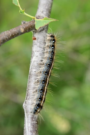 The eastern tent caterpillar (malacosoma americanum) is a species of moth in the family lasiocampidae, the tent caterpillars or lappet moths.it is univoltine, producing one generation per year.it is a tent caterpillar, a social species that forms communal nests in the branches of trees.it is sometimes confused with the gypsy moth and the fall webworm, and may be erroneously referred to as a. Eastern Tent Caterpillar Extension Entomology