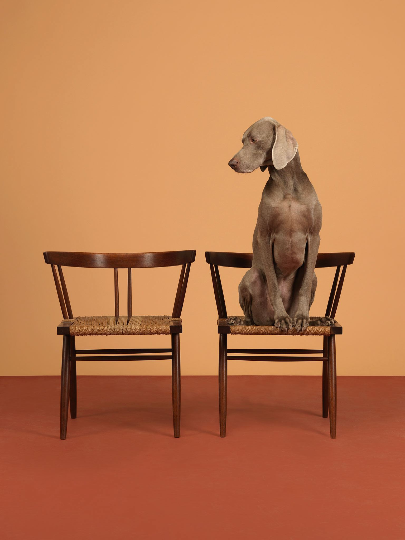 black plastic chairs high chair for sale william wegman pairs his dogs with high-end furniture – design & architecture