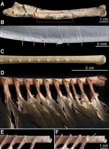 ( A ) Vista dorsal del cúbito derecho de Velociraptor IGM 100/981. ( B ) Detalle del cuadro rojo en (A), con flechas que muestran seis puntos donde salían los nudos de plumas. ( C ). vista Dorsal del cúbito derecho de un buitre ( Cathartes ). ( D ) Igual vista de hueso del buitre Cathartes como en (C), pero con el tejido blando diseccionado para revelar la colocación de las plumas secundarias. ( E ) Detalle de Buitre Cathartes , con una pluma completa. ( F ) La misma vista que en (E), pero con la pluma refleja hacia la izquierda para mostrar la colocación de la pluma, perilla, y el ligamento folicular. Ligamento folicular indica con la flecha.