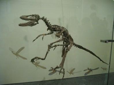 Foto de un fósil de un Deinonychus, un dinosaurio  pertenecía a un grupo de dinosaurios de la familia de los Dromaeosauridae, es decir que es pariente de un Velociraptor. Sus manos y pies estaban equipados con garras afiladas para atrapar y agarrar la presa. Huesos huecos de los dinosaurios y las piernas largas indican movimiento rápido y ágil. Foto por Jorge Colorado en el Museo Americano de Historia Natural en New York, EEUU.