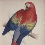 Edward Lear. Scarlet macaw, 1832