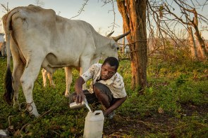 A Lutheran church member milks a cow outside his home in a rural area of Les Cayes, Haiti, Oct. 12. Residents also are struggling to find clean water amid an outbreak of cholera. LCMS Disaster Response is working to provide an initial 10 wells, with a goal of providing up to 50 wells for clean water.