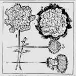 A black and white photo that shows hatpins. They are floral style, looking like dandelions. There are four on this image all numbered 1-4. 1 is standing upright, 2 is an overhead shot of just the floral portion of the pin, 3 is set sideways with the floral part pointing toward the right hand side. 4 is in the same direction as 3 but it has a stem that looks more like a dandelion
