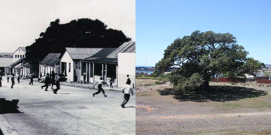 """The fig tree is one of South End's most prominent landmarks, predating living memory and often said to be """"more than a hundred years"""" old. Many former residents remember playing or picnicking underneath it. Today, it stands in an open field near the site of one of the South End primary schools, close to the sea and the harbour. It can be seen from the windows of the South End Museum across the road.  Ron Belling, 1970/ Yusuf Agherdien, 2013"""