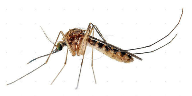 The femle Anopheles mosquito transmits malaria from human to human