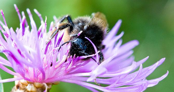 bee-pollination