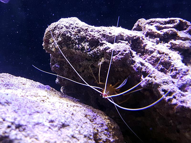 Crevette d'Amboine